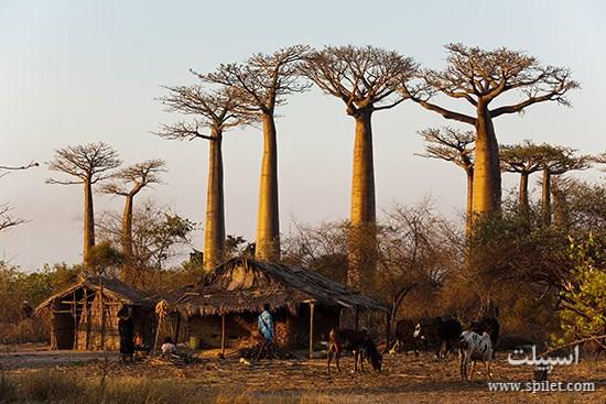 درختان بائوباب در جزیره ماداگاسکار