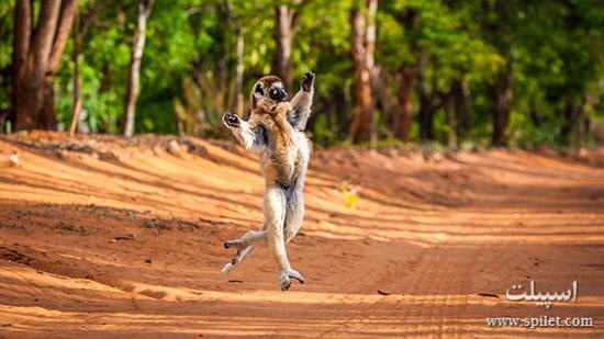 لمورهای جزیره ماداگاسکار