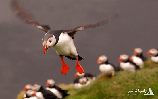 از لذت عکاسی و تماشای پافینهای ایسلند غافل نشوید