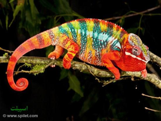 آفتاب پرست در ماداگاسکار