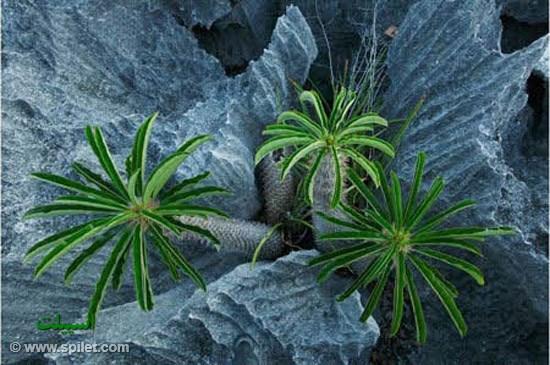 گیاهان جنگل سنگی