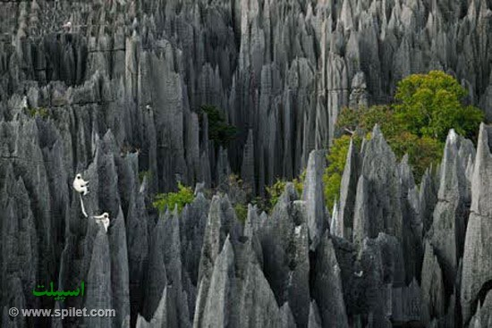 تیزینجی در ماداگاسکار