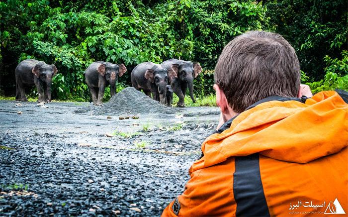 فیلهای بورنئو