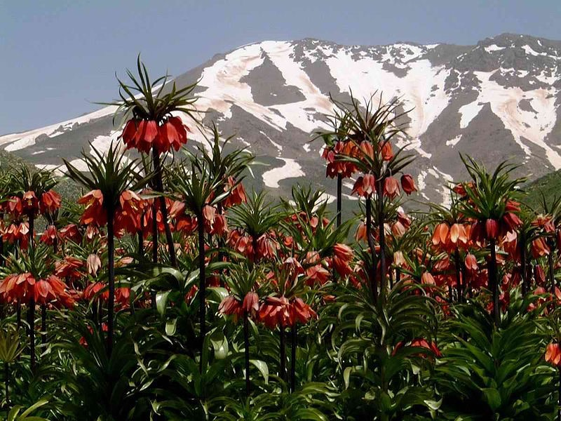 لالهی سلطنتی در کردستان