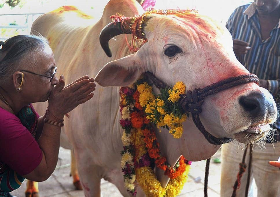خانم هندی در حال ناماسته گفتن به گاو